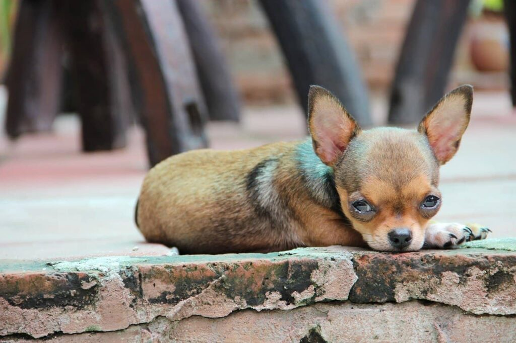 10 Amazing Facts about Chihuahuas