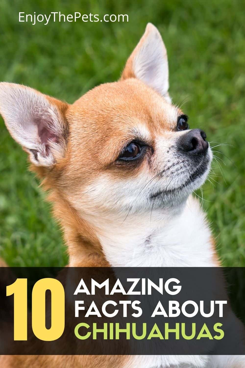 10 Facts about Chihuahuas
