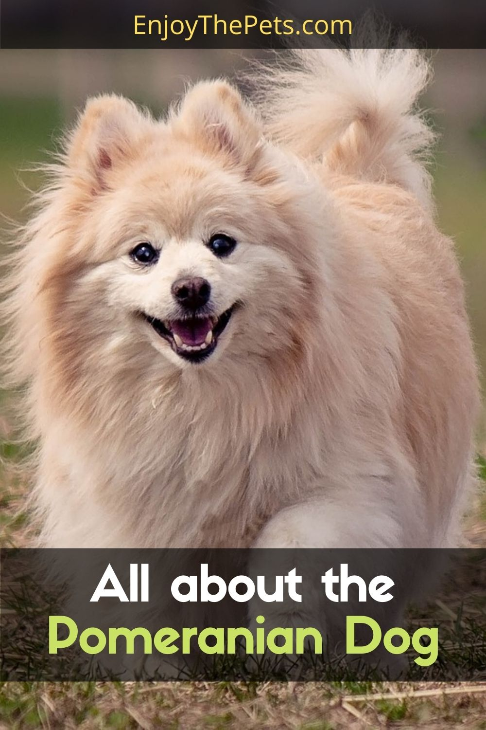 All about the Pomeranian Dog