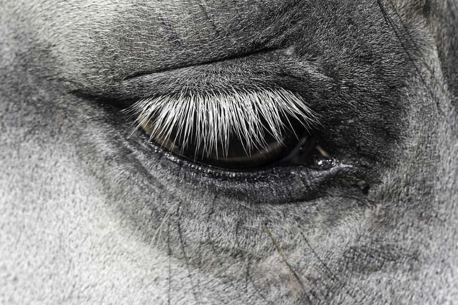 Eye Infections and Injuries in Horses