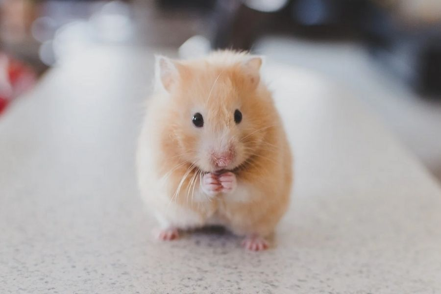 How to Care for Your Pet Hamster