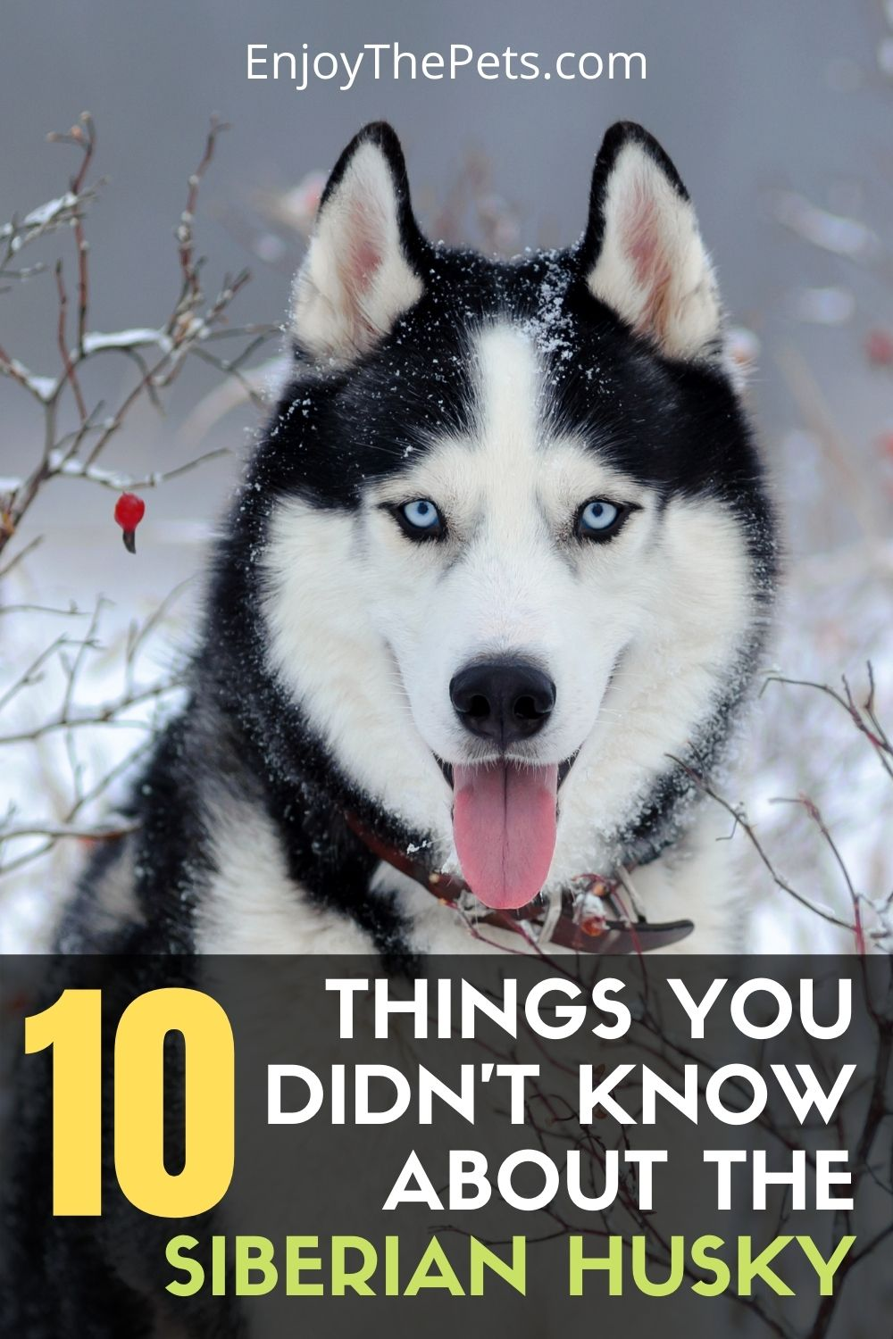 10 Things You Didnt Know About the Siberian Husky