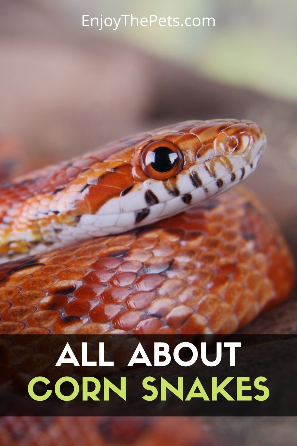 All About Corn Snake