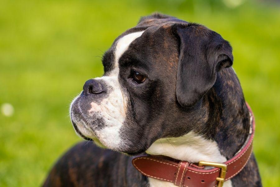 Boxer Dog Breed Profile Characteristics History Care Tips