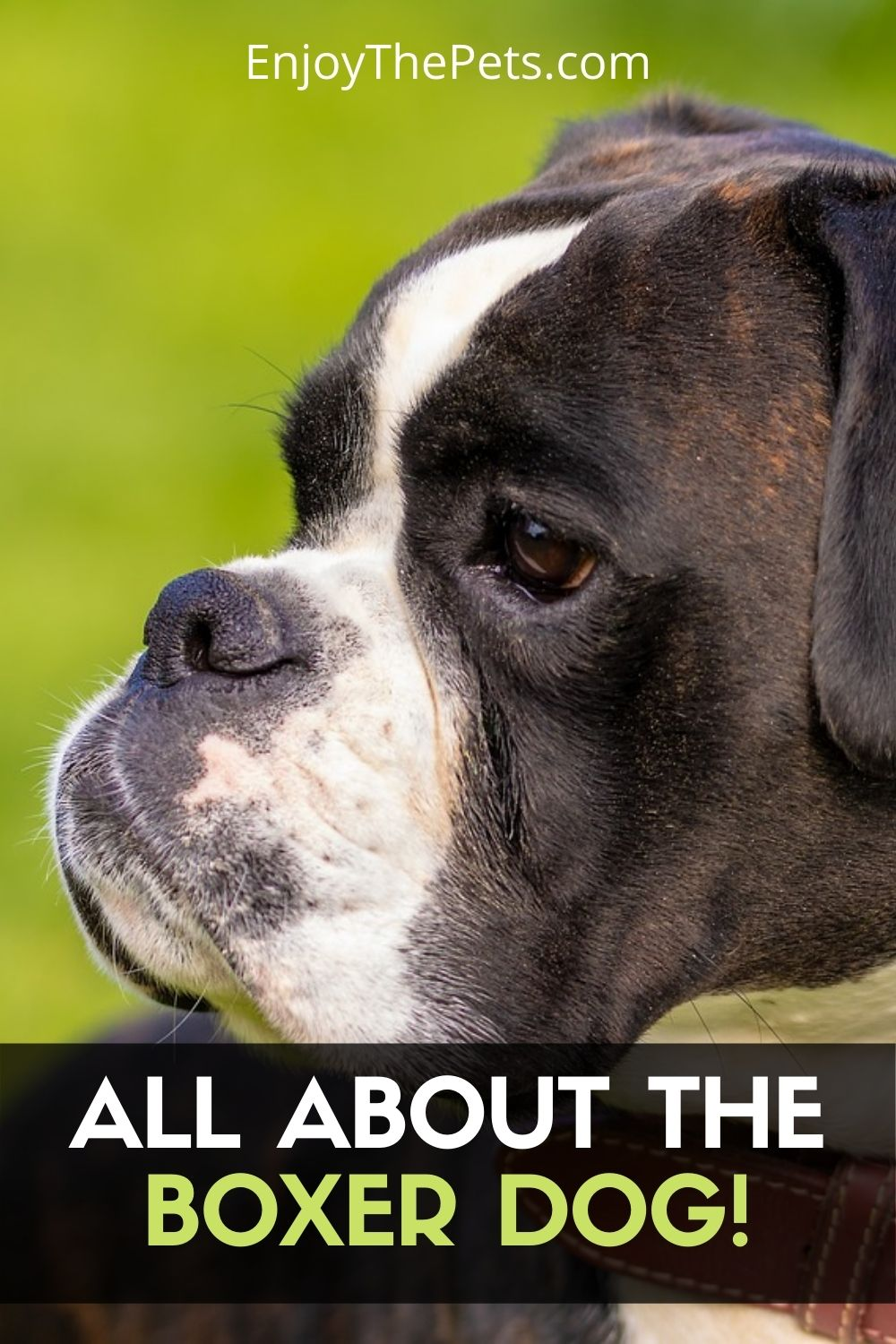 Boxer Dogs Characteristics and Care