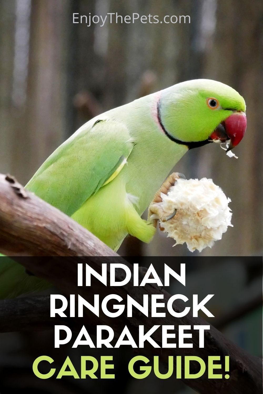 Indian Ringneck Parakeet - Bird Species Profile and Cares