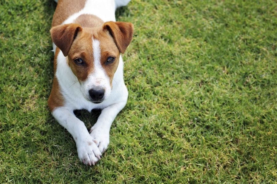 Jack Russell Terrier Characteristics and Care