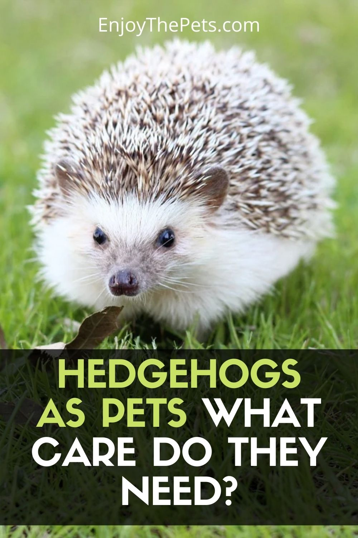 Pets Hedgehogs