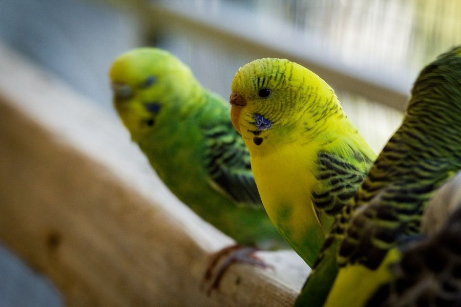 Common Bird Illnesses