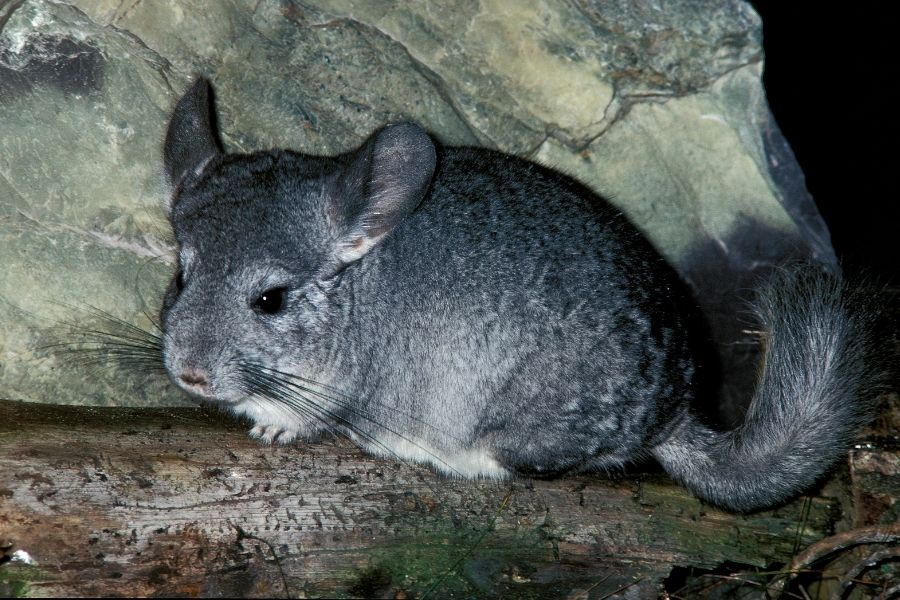 How to Care for Your Chinchilla