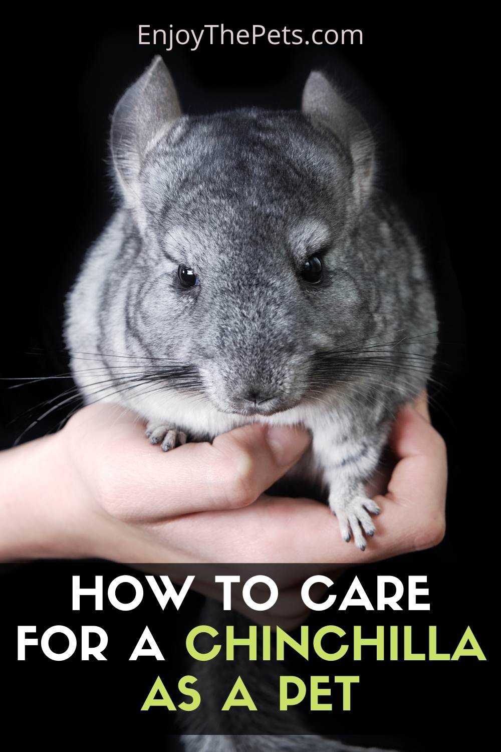 How to Care for a Chinchilla as a Pet