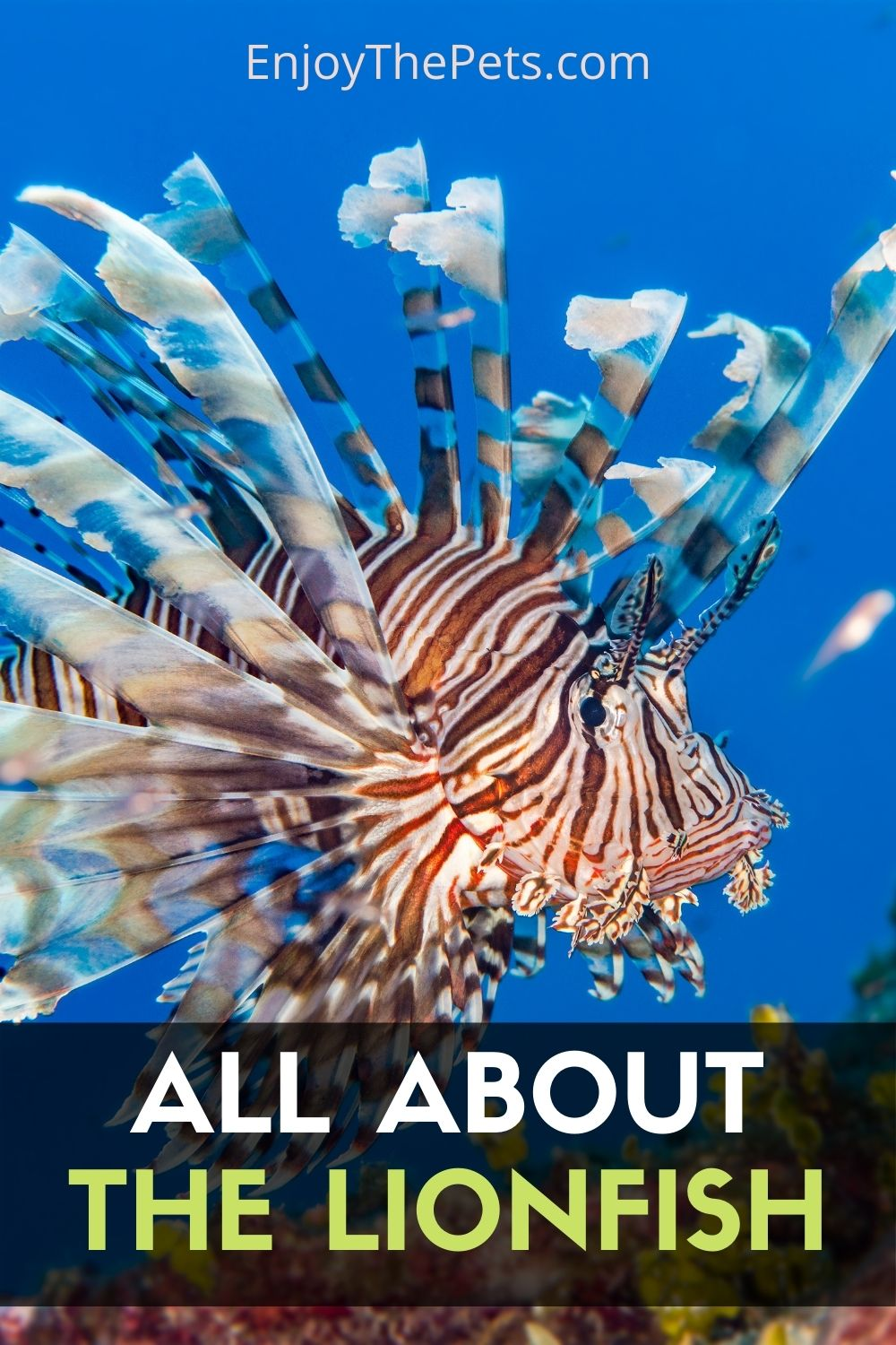 The Lionfish Species Profile Characteristics and Care Guide