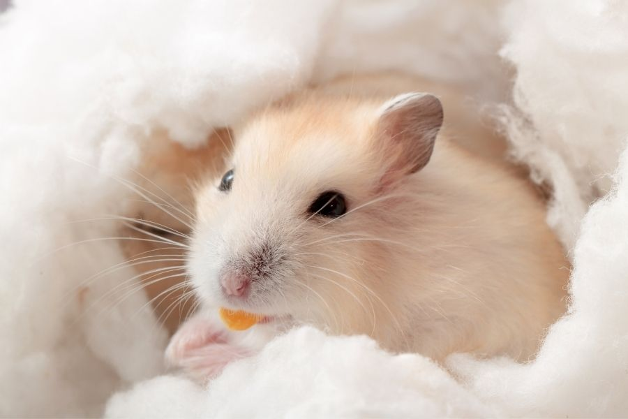 Why a Hamster Would Eat its Babies