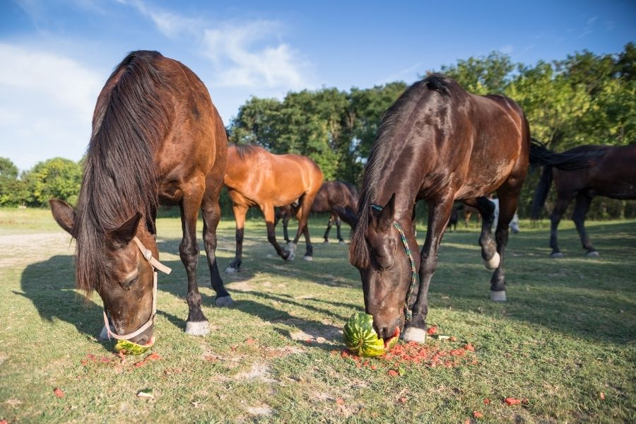Feeding Watermelon to Your Horse