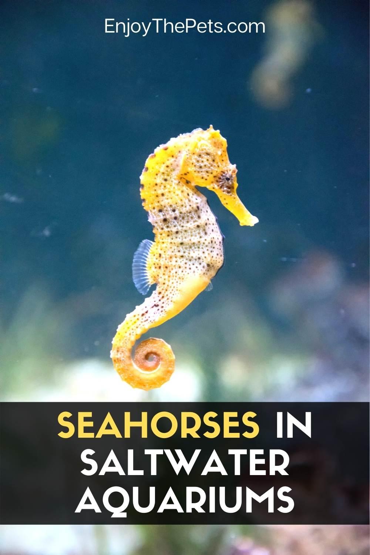 Seahorses in Saltwater Aquariums