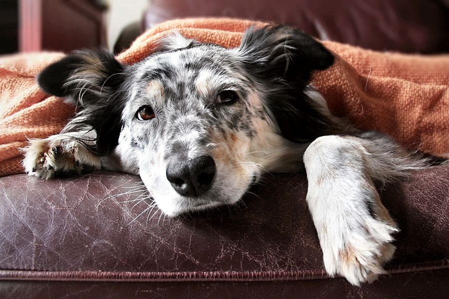ATAXIA IN DOGS (2)