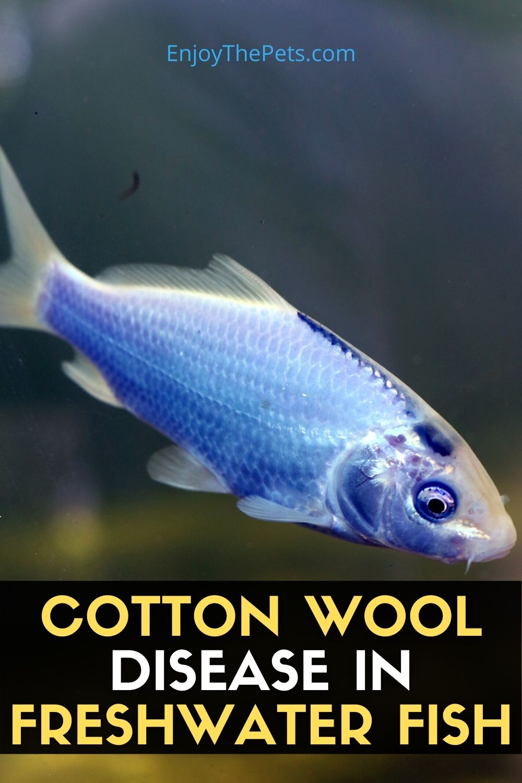 COTTON WOOL DISEASE IN FRESHWATER FISH (3)