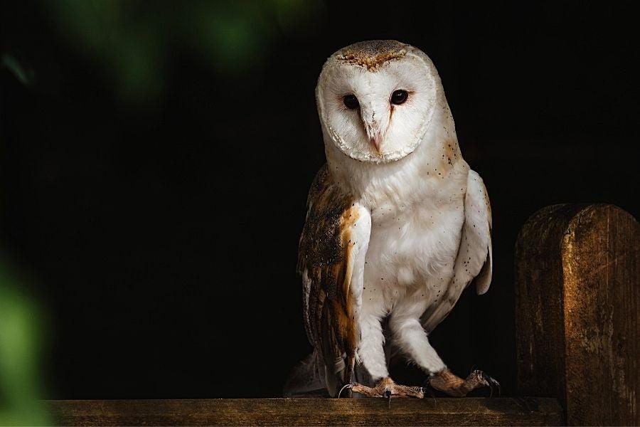 DO OWLS MAKE GOOD PETS_ (2)