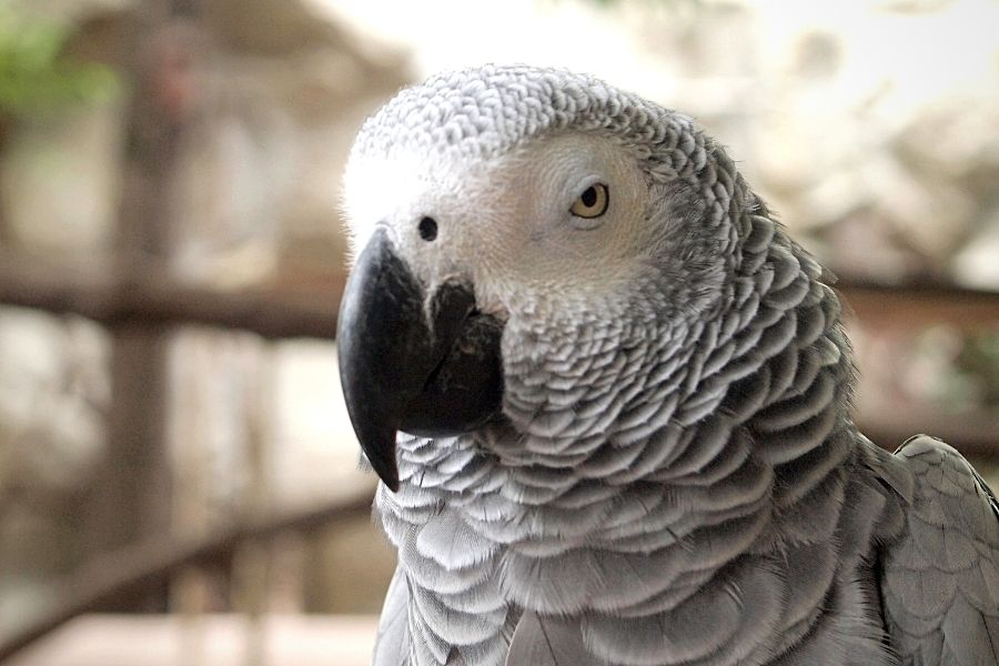 HOW CAN I CHOOSE A BIRD THAT WILL TALK_ (2)