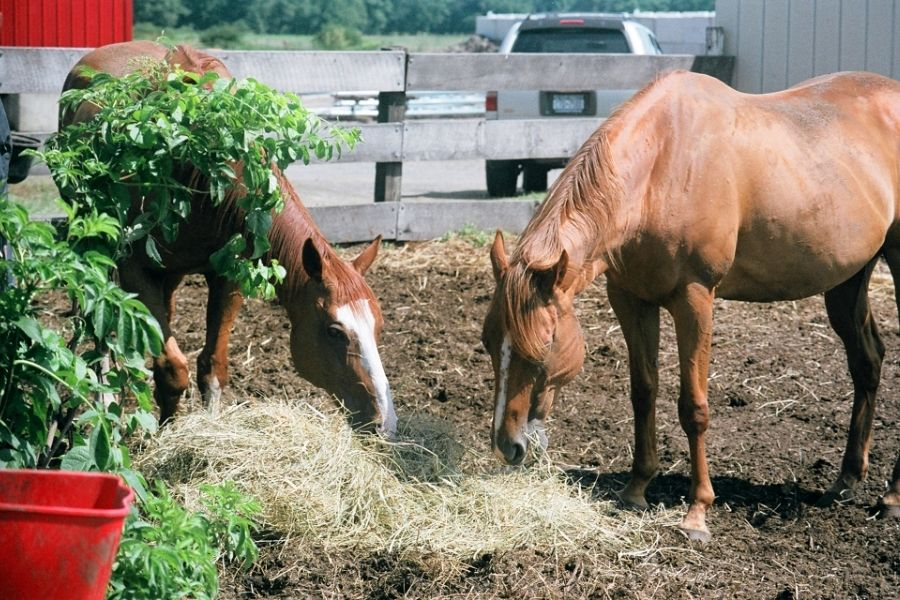 HOW TO CALCULATE HOW MUCH HAY TO FEED YOUR HORSE (1)