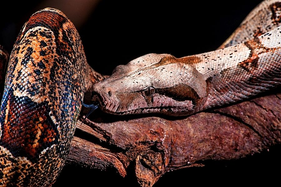 HOW TO CARE FOR A PET RED TAIL BOA_ (2)
