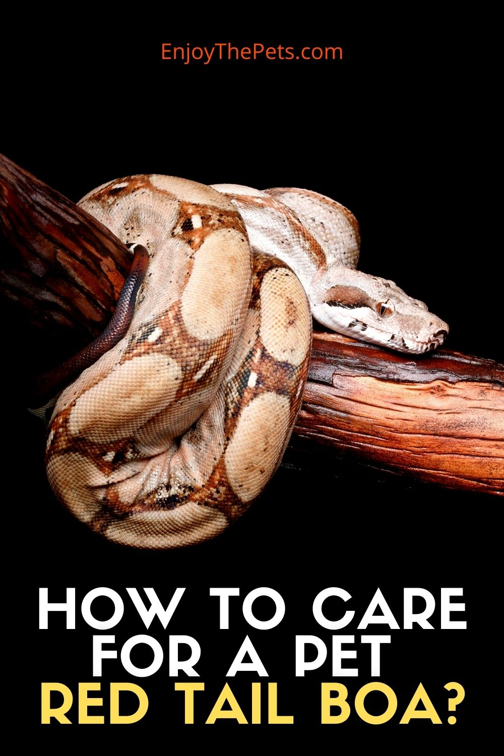 HOW TO CARE FOR A PET RED TAIL BOA_