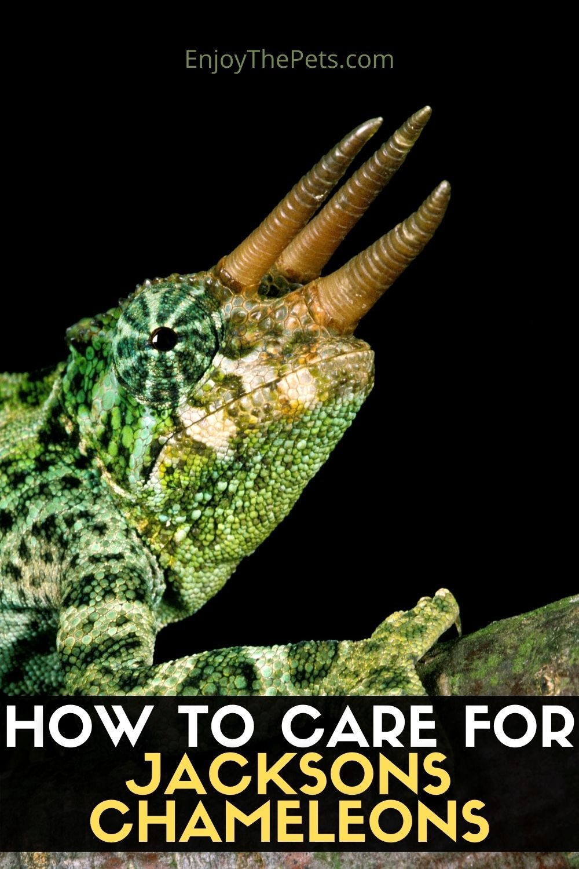 HOW TO CARE FOR JACKSONS CHAMELEONS