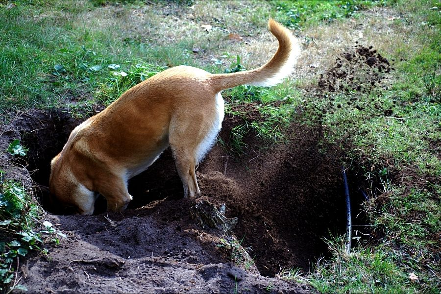 HOW TO STOP YOUR DOG FROM DIGGING (2)