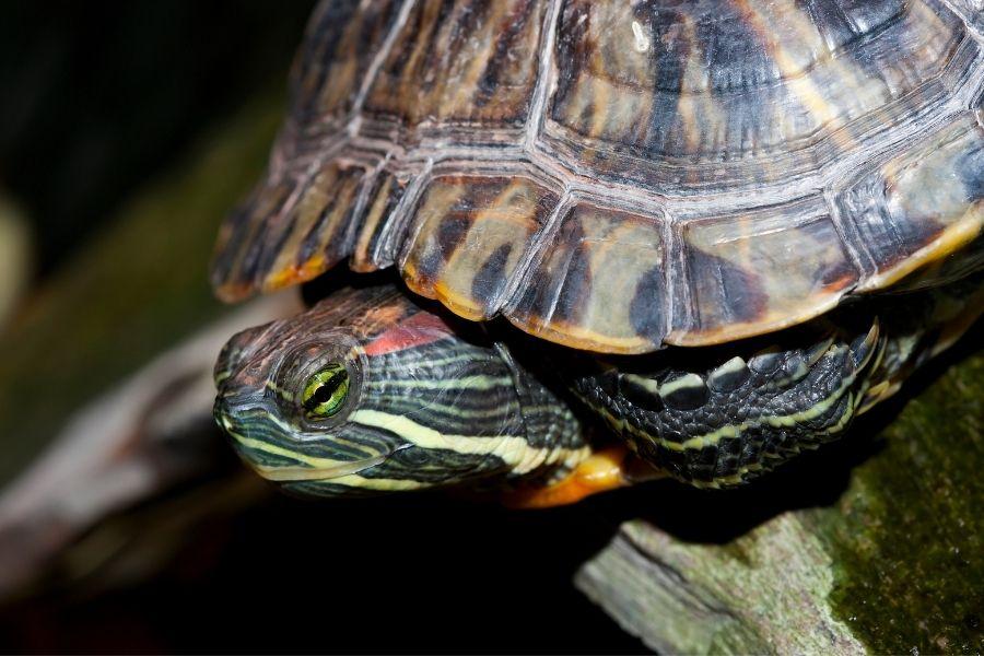 PAINTED TURTLES AS PETS (1)
