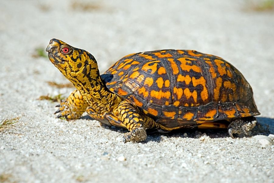 WHAT TO FEED YOUR BOX TURTLE (2)