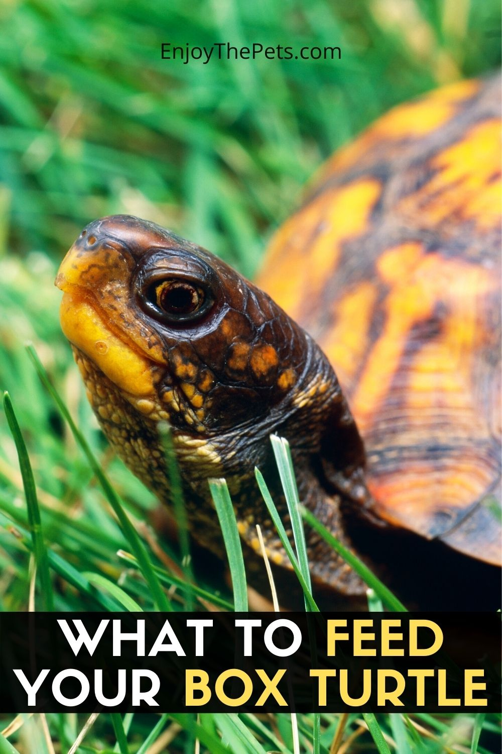 WHAT TO FEED YOUR BOX TURTLE
