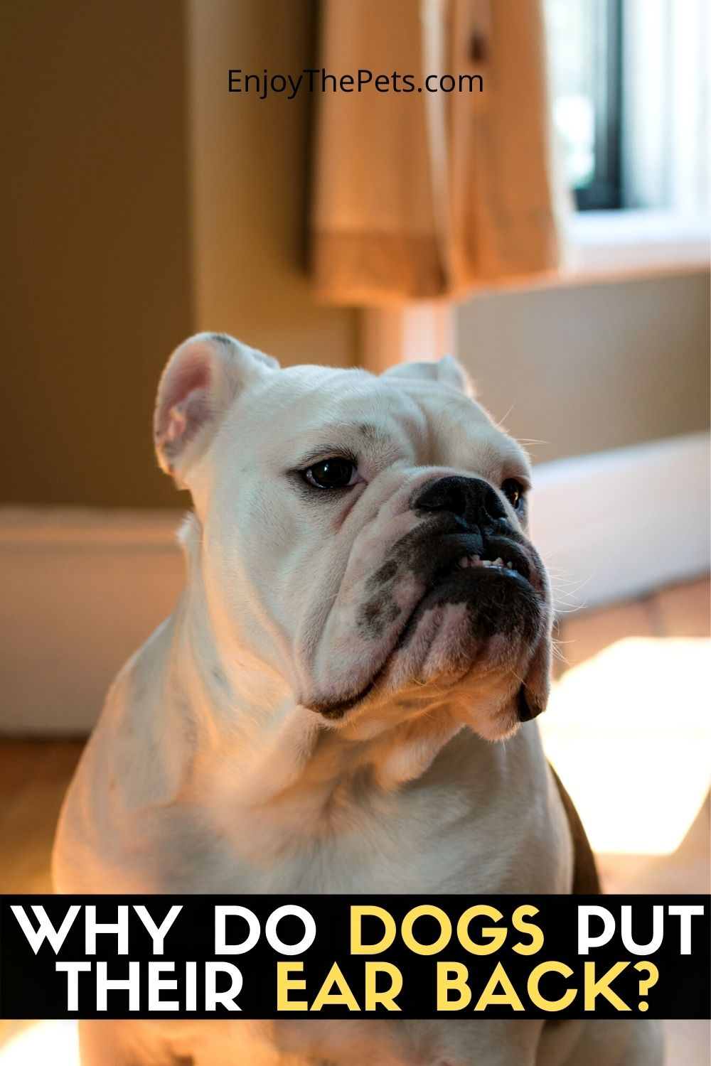 WHY DO DOGS PUT THEIR EAR BACK_